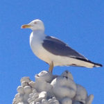 Seagull at Villa Margherita